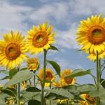 エルニーニョ現象で、今年は 「冷夏 」。なぜそうなるのか?
